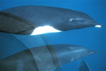 A Norther Right Whale Dolphin