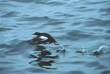 A Pigeon Guillemot.  This image is copyrighted.  Please contactPieter Folkens at animalbytes@earthlink.net and phone707/ 746-1049 prior to using.