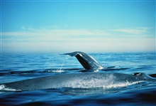 Blue whales on the surface