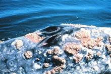 Closeup of a gray whale blowhole showing large assemblage of barnacles
