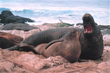 Elephant seals on the Farallon Islands