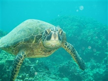 A green sea turtle swimming toward the photographer.