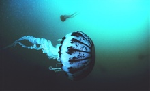A purple striped jellyfish -- Pelagia panopyra - possesses very potent stingers