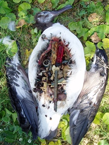 Post-mortem examination of dead Laysan Albatross showing thehuge amount of ingested plastic which caused death.