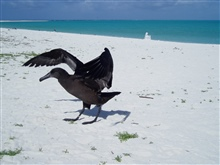 Black-footed Albatross on the beach.