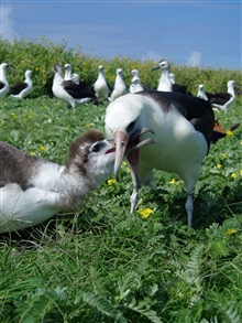 Mealtime for an albatross chick.