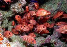 Hawaiian squirrelfish (Sargocentron xantherythrum)