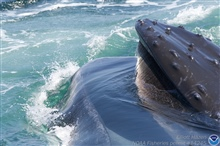 Closeup of baleen in humpback whale mouth.