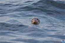 Curious harbor seal observing observers.