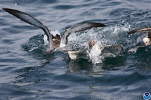 Shearwaters dining.