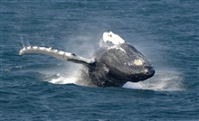Breaching humpback about to land on its back and produce hugesplash.