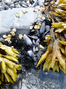 Tide pool with mussels and kelp at Fort Abercrombie State Park
