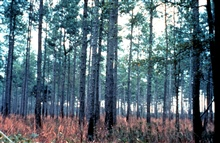 ACE Basin National Estuarine Research Reserve.  Upland pine forest atAshepoo Plantation.