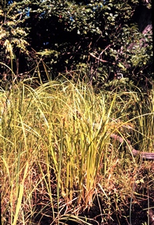Waquoit Bay National Estuarine Research Reserve.Carex lurida ?  along the Moonakis River.