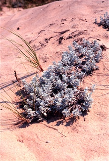 Waquoit Bay National Estuarine Research Reserve.Dusty miller - Senecio cineraria in the dunes at South Cape Beach.