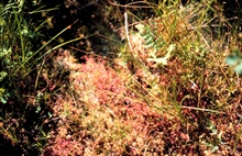 Waquoit Bay National Estuarine Research Reserve.Spatulate-leaved sundew  - Drosera intermedia; three-square rush - Scirpusamericanus;  soft rush - Juncus effusus.  Along the Mashpee Trail at South CapeBeach.