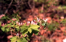 Waquoit Bay National Estuarine Research Reserve.Morrow's honeysuckle - Lonerica morrowii