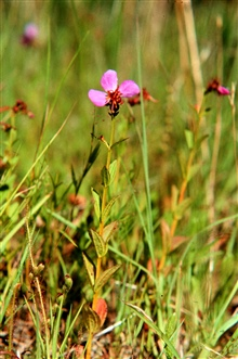 Waquoit Bay National Estuarine Research Reserve.Meadow beauty - Rhexia virginica along Mashpee Trail at South Cape Beach.
