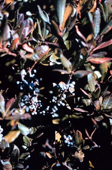 Narragansett Bay National Estuarine Research ReserveBayberry - Myrica pensylvanica.   Early colonists boiled the berries and madearomatic candles from the wax.  The berries are still used as components ofcandles.