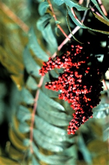 Narragansett Bay National Estuarine Research ReserveStaghorn sumac - Rhus typhina.  This plant is an important food source for manytypes of wildlife.
