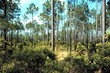 Grand Bay National Estuarine Research Reserve.Maritime slash pine flatwoods/savanna habitat east of Bayou Heron onMS/AL state line and eastern border of NERR, 1999.