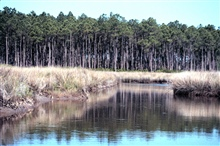 Grand Bay National Estuarine Research Reserve.North on Middle Bayou showing Juncus marsh bordering maritime slashpine flatwoods/savanna. 1999.