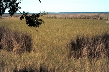 Grand Bay National Estuarine Research Reserve.Juncus roemerianus and Spartina patens, looking north from Indian shellmidden north of Rigolets. 2000.