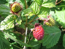 Salmonberry (Rubus spectabilis), an edible berry that is common in southernAlaska.