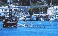 Pelican's seeking the proverbial free lunch as they follow a fishing vessel