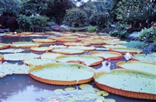 5-foot lily pads.