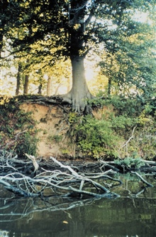 A large tree has a tenacious, if tenuous, hold on an eroding bank along SoloCreek, Wye Island.
