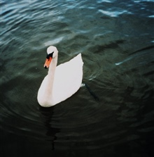 Mute swan.  Mute swans are an agressive invasive species along the East Coast.There are now over 3,000 mute swans in the Maryland portion of the ChesapeakeBay.
