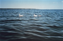 Pair of mute swans with cygnet following.Mute swans are an agressive invasive species along the East Coast.There are now over 3,000 mute swans in the Maryland portionof the Chesapeake Bay.