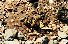 Swallow-tail butterflies on a pebbled beach.