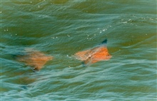 Schools of Cow-nosed Rays - Rhinoptera bonasus - are a familiar sight in theChesapeake Bay.