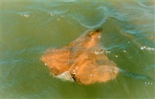 A Cow-nosed ray - Rhinoptera bonasus - near the surface, near the mouth of thePatuxent River.