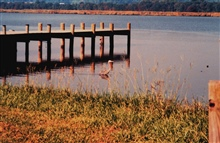 Great Blue Heron fishing along the Patuxent River.