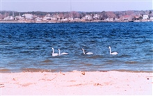 A tundra swan family cruising along the Patuxent River.