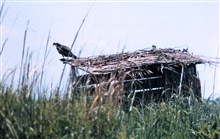 Ospreys nesting along a Patuxent River duck blind.