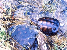 Young snapping turtles being released into the wild.The one on the left is underwater.