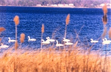 Tundra swans near the mouth of the Patuxent River.These swans can be distinguished from mute swans by their black bills.  Tundraswans are native to the Chesapeake Bay region.