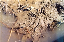 Footprints in the mud of a Patuxent River marsh, possiblymuskrat.