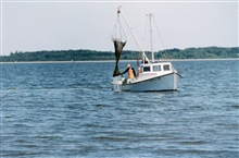 Clam dredging - although maintaining the tradition of the Chesapeake waterman,this harvesting method further stresses submerged aquatic vegetation.