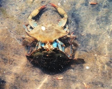 Photo #6 of 8.  Having reached the buster molt stage, a Maryland blue crab, Callinectes sapidus, sheds its shell.  The genus and species mean tasty beautiful swimmer.