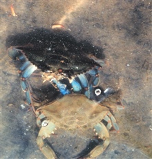 Photo #7 of 8.  Having reached the buster molt stage, a Maryland blue crab, Callinectes sapidus, sheds its shell.  The genus and species mean tastybeautiful swimmer.