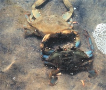 Photo #8 of 8.  Having reached the buster molt stage, a Maryland blue crab, Callinectes sapidus, sheds its shell.  The genus and species mean tastyThe genus and species mean tasty beautiful swimmer.