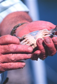 Holding a soft-shell peeler crab (female)