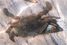 A peeler crab (female).  It will shed its shell within an hour.