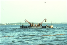 Menhaden fishing - purse seiner boats ready to begin closing the purse