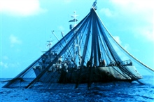 After closing the net and trapping the fish, the net is now brought on board.This is a view of the net being run through the powerblock and then laid back onthe stern of the fishing vessel.